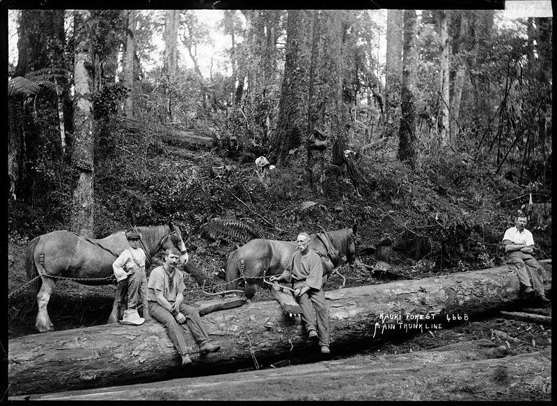 עצי קאורי מתים בניו זילנד | חבלי ארץ