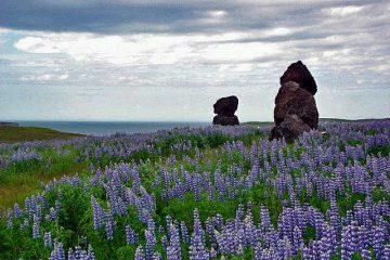 שדות התורמוס באיסלנד