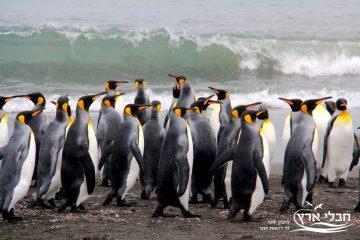 הפינגווין המלכותי – להיות או לחדול?
