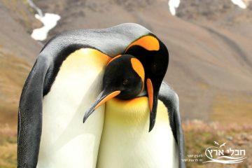 אהבה של פינגווינים