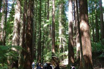 סיפורם של יערות הקאורי בניו זילנד